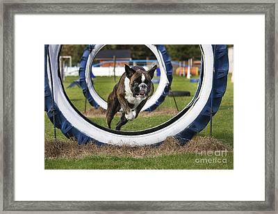 Boxer Dog Framed Print by Johan De Meester