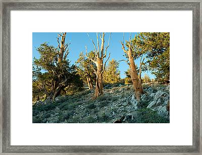 Bristlecone Pine Grove At Ancient Framed Print by Panoramic Images