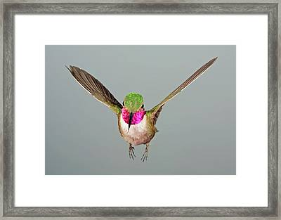 Framed Print featuring the photograph Broadtail Hummingbird Visualized by Gregory Scott