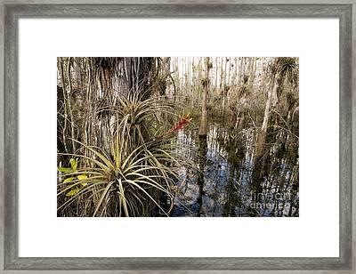 Bromeliad Tillandsia Fasciculata Framed Print