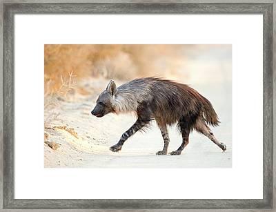 Brown Hyena Framed Print