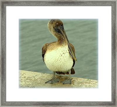 Brown Pelican  Framed Print by Debra Forand