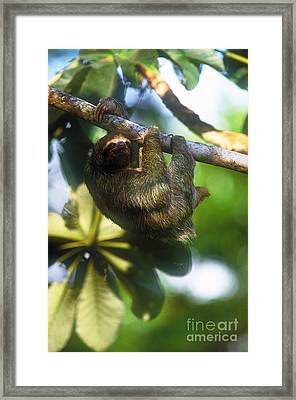 Brown-throated Three-toed Sloth Framed Print by Art Wolfe