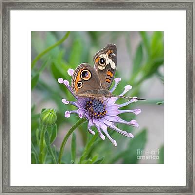 Buckeye Butterfly Square Framed Print