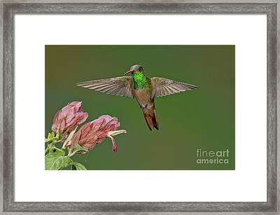 Buff-bellied Hummingbird Framed Print