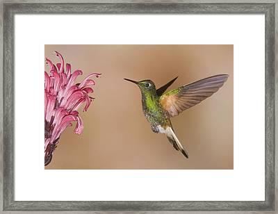 Buff-tailed Coronet Hummingbird Feeding Framed Print