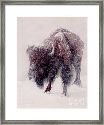 Buffalo Blizzard Framed Print