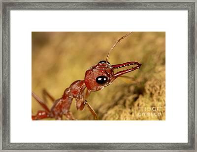 Bull Ant Framed Print by Kaarel Olesk
