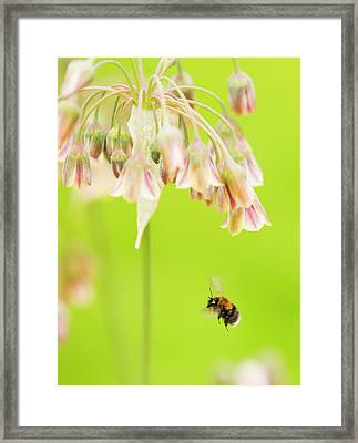 Bumble Bee Gathering Pollen Framed Print by Ashley Cooper