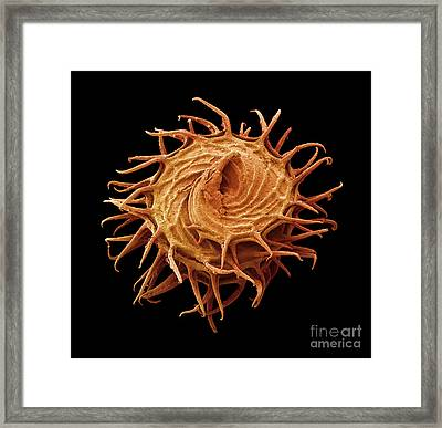 Sem Of Bur Clover Burr Framed Print