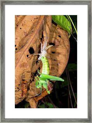 Bush Cricket Shedding Its Skin Framed Print