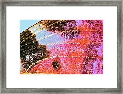 Butterfly Wing Framed Print by Dr Keith Wheeler
