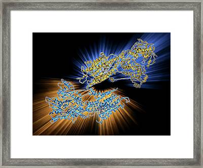 Calcium Pumping Atpase Muscle Enzyme Framed Print by Laguna Design