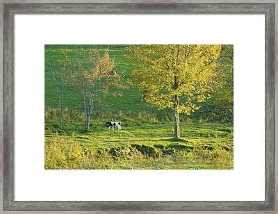 Calf On A Farm Fall Maine Framed Print