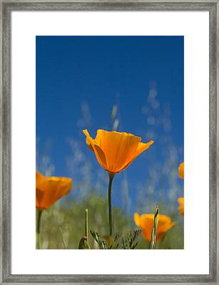 California Poppy Framed Print by Rima Biswas
