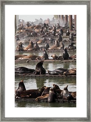 California Sea Lions  Zalophus Framed Print