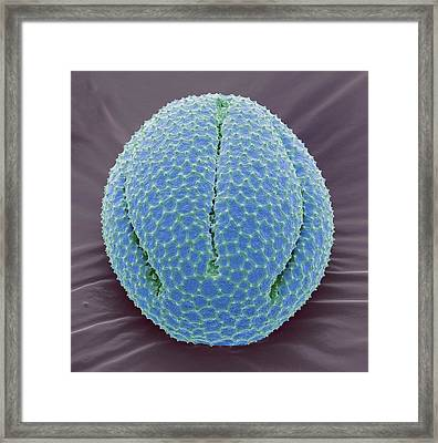 Californiain Poppy Pollen Grain Framed Print