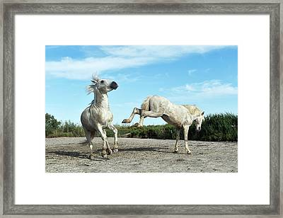 Camargue Horses Framed Print by Dr P. Marazzi