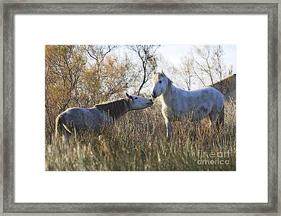 Camargue Horses Fighting Framed Print by M. Watson