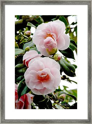 Camellia Flowers Camellia Japonica Framed Print by Dr. Keith Wheeler