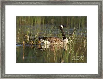 Canada Goose And Goslings Framed Print by Linda Freshwaters Arndt