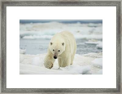 Canada, Nunavut Territory, Polar Bear Framed Print by Paul Souders