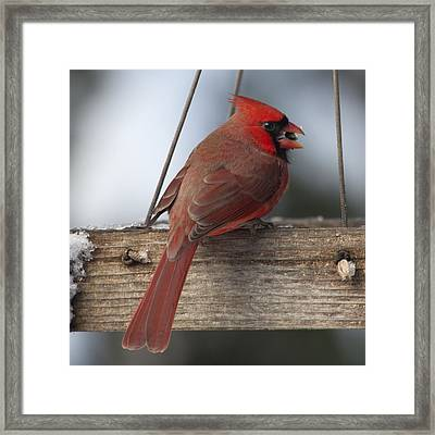 Cardinal Framed Print by John Kunze