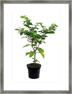 Carolina Reaper Chilli Pepper Plant Framed Print