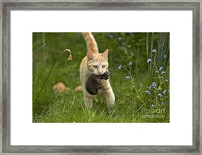 Cat Carrying Kitten Framed Print by Jean-Michel Labat