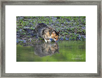 Calico Cat Framed Print by Al Powell Photography USA