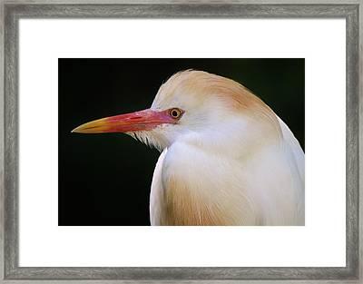 Cattle Egret Framed Print by Paulette Thomas
