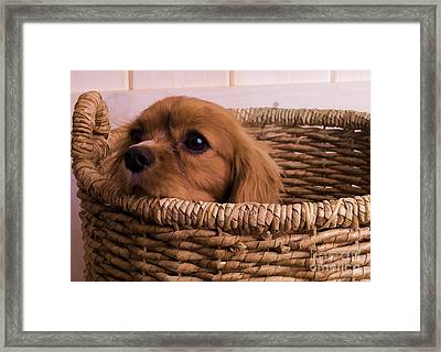 Cavalier King Charles Spaniel Puppy In Basket Framed Print by Edward Fielding