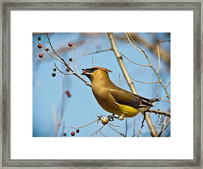 Cedar Waxwing With Berry Framed Print by Robert Frederick