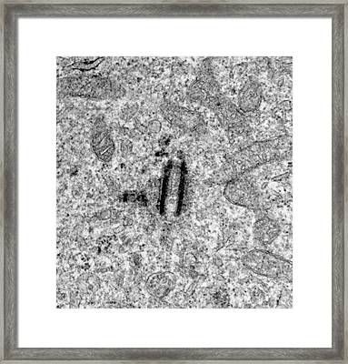 Centrioles Framed Print by Louise Hughes