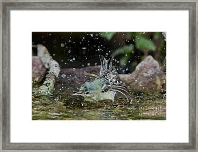 Cerulean Warbler Framed Print