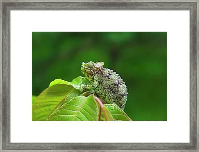 Chameleon, Nakuru, Kenya Framed Print