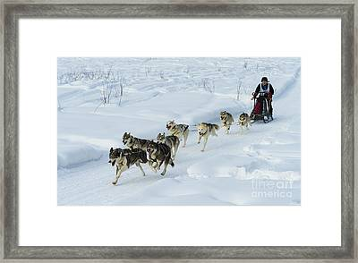 Championship Sled Dog Race Framed Print