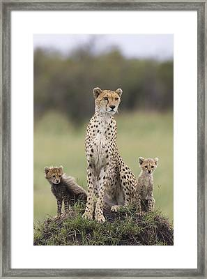 Cheetah Mother And Cubs Maasai Mara Framed Print by Suzi Eszterhas