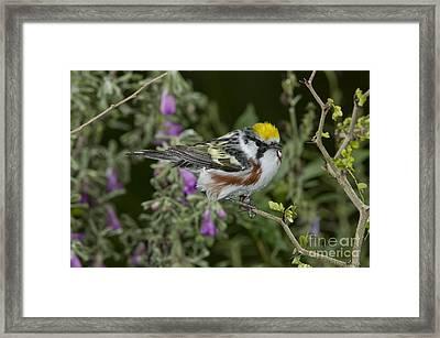 Chestnut-sided Warbler Framed Print