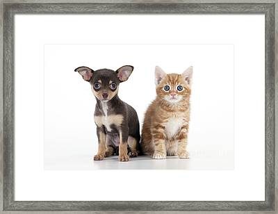 Chihuahua Puppy And Kitten Framed Print