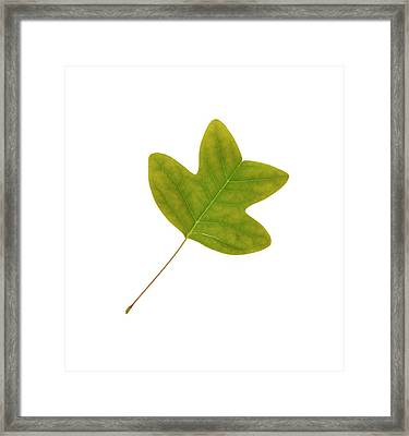 Chinese Tulip Tree Leaf Framed Print by Cordelia Molloy