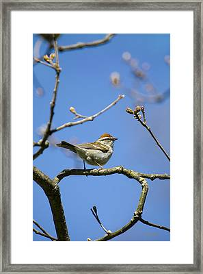 Chipping Sparrow Perched In A Tree Framed Print