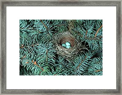 Chipping Sparrow (spizella Passerina Framed Print