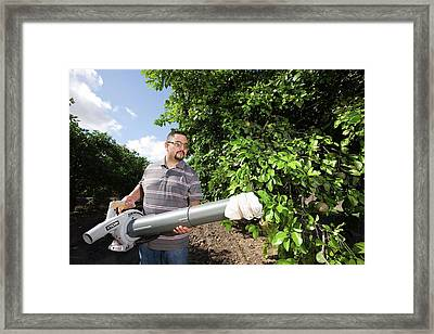 Citrus Greening Disease Research Framed Print by Peggy Greb/us Department Of Agriculture