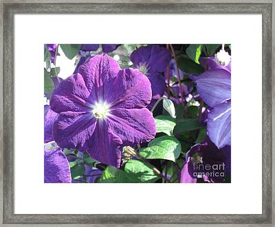 Clematis With Blazing Center Framed Print