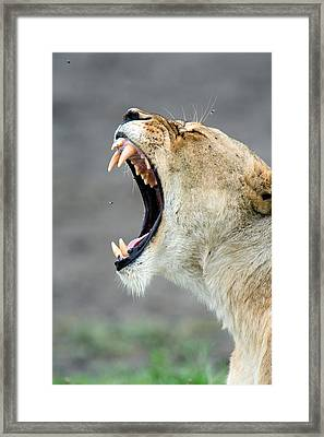 Close-up Of A Lioness Panthera Leo Framed Print by Panoramic Images