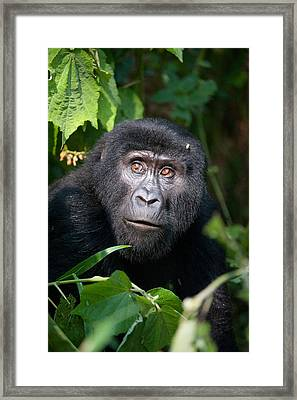 Close-up Of A Mountain Gorilla Gorilla Framed Print by Panoramic Images
