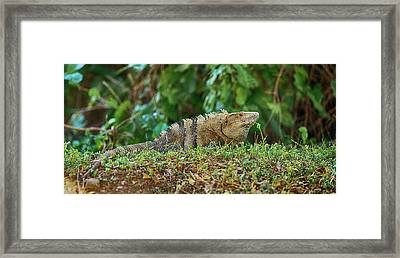 Close-up Of An Iguana, Costa Rica Framed Print by Panoramic Images