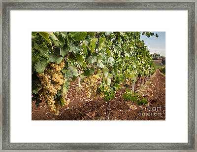 Close Up Of Ripe Wine Grapes On The Vine Ready For Harvesting Framed Print