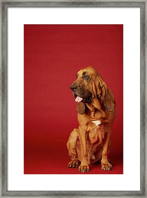 Close Up Portrait Of A Bloodhound Framed Print by Rebecca Hale